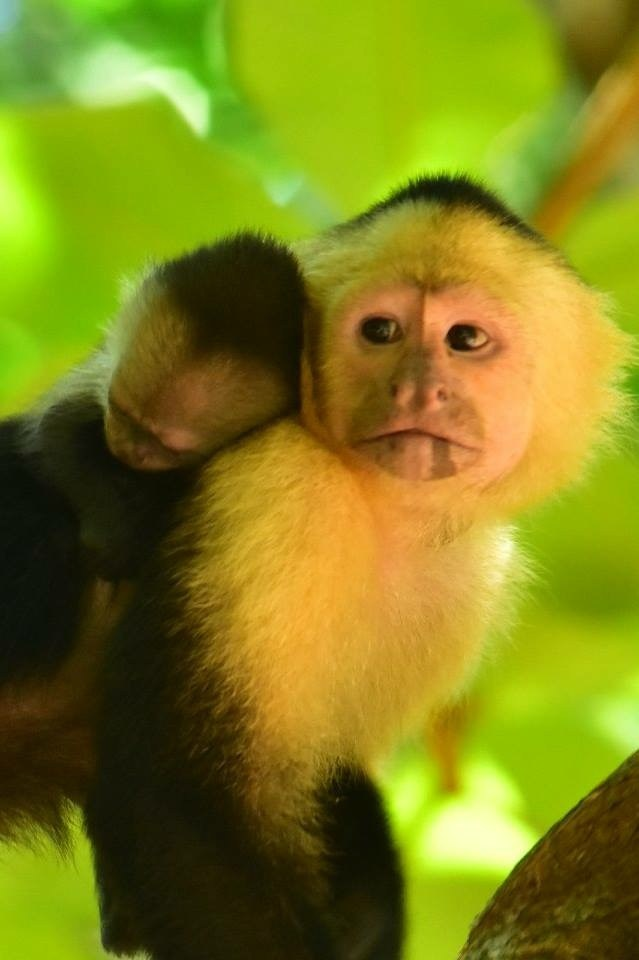 White Faced Capuchin and baby, Costa Rica