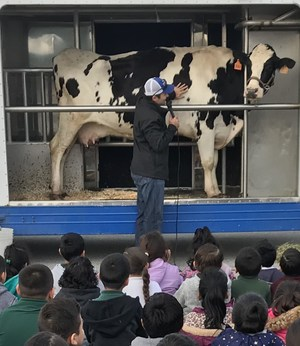 Students watching a man touching a cow