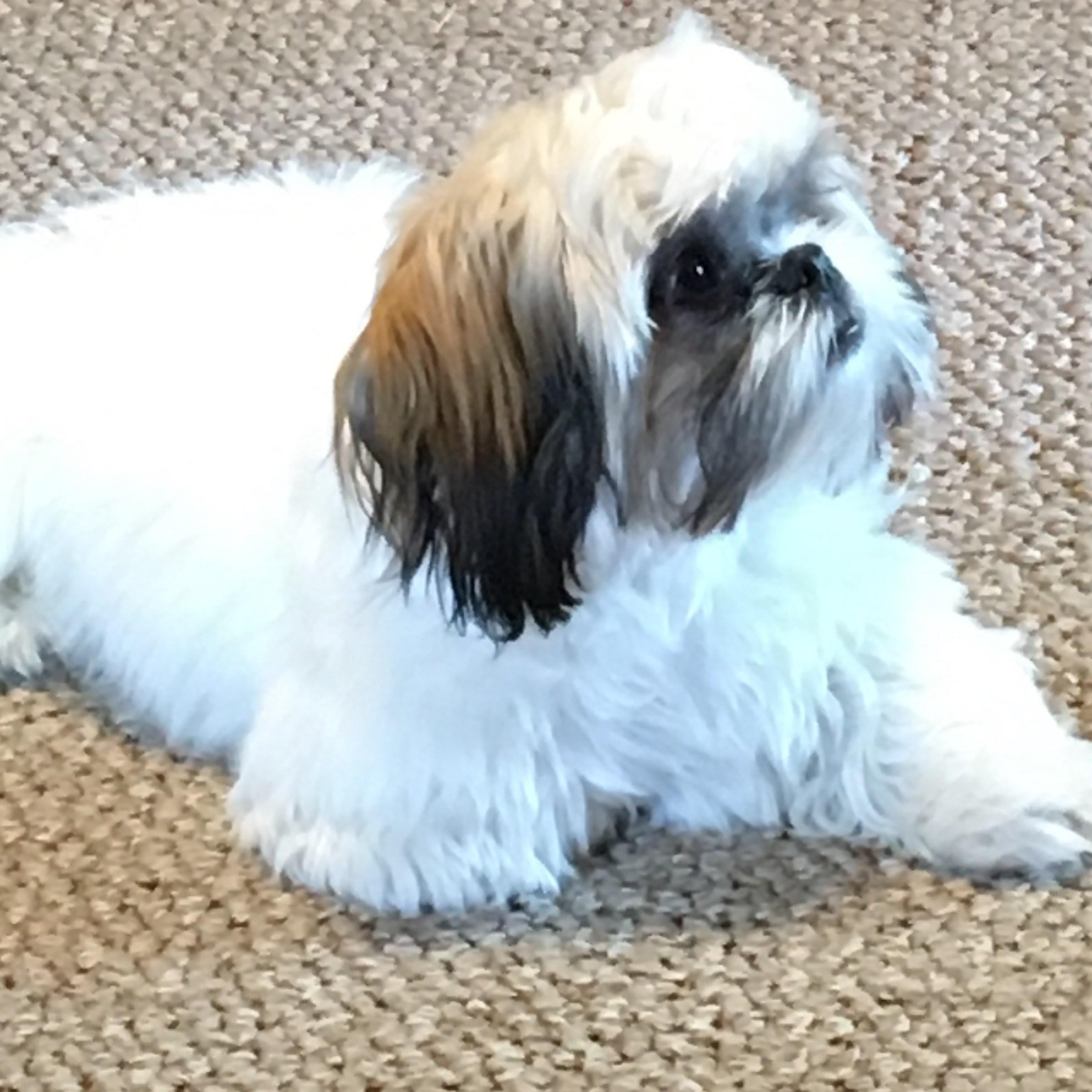Family dog, Shitzhu Dobby