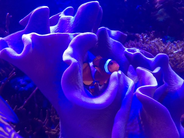 Nemo- a clownfish in Living Seas