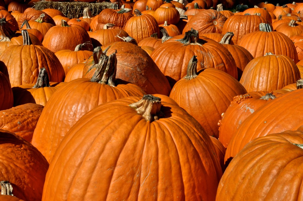 pumpkins in field
