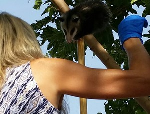 Teacher helps take opossum from tree