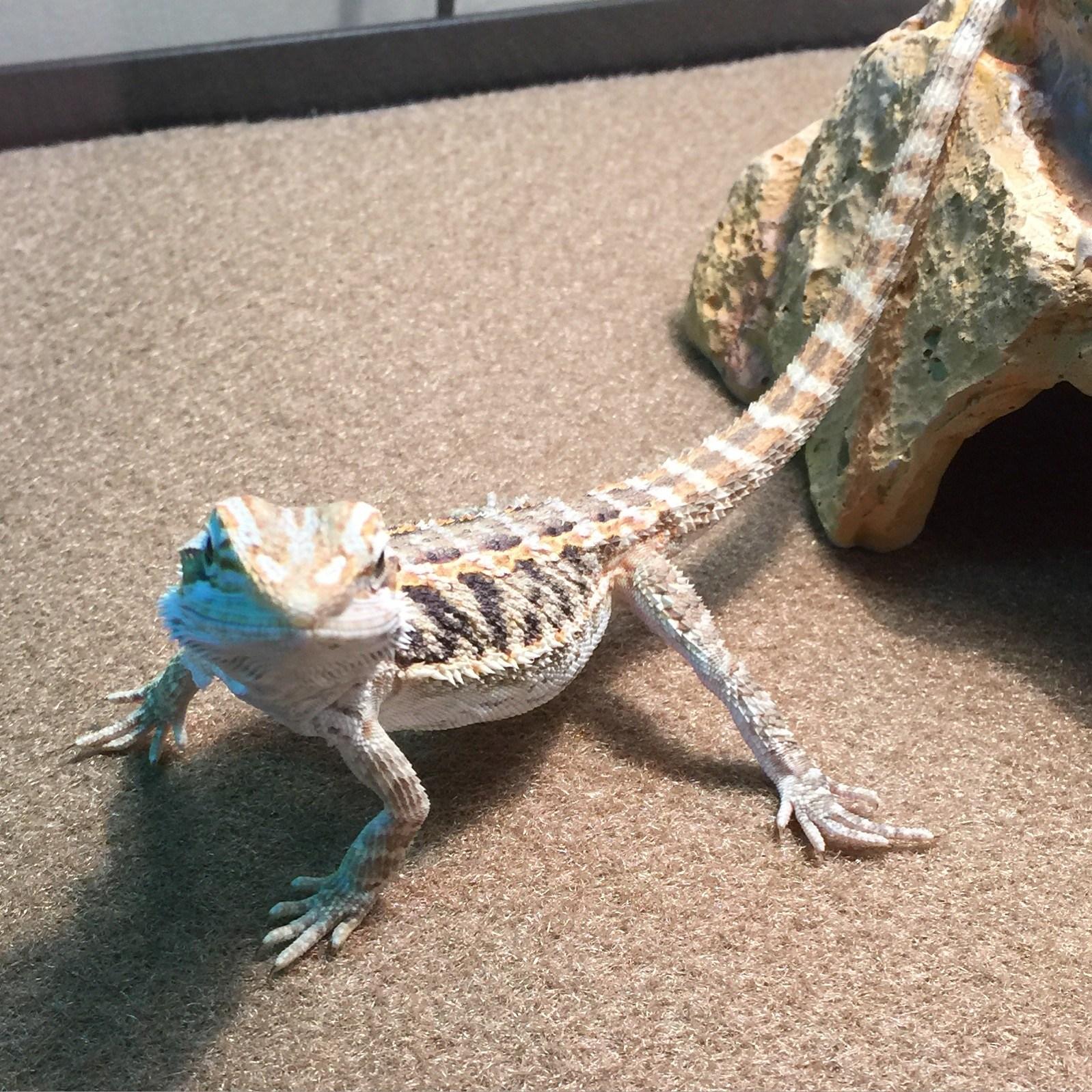 Drako- classroom pet
