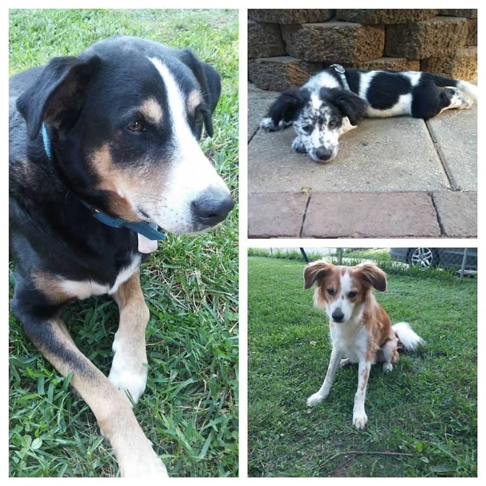 Mrs. Dodson's dogs: Halo, Enzo and Loki