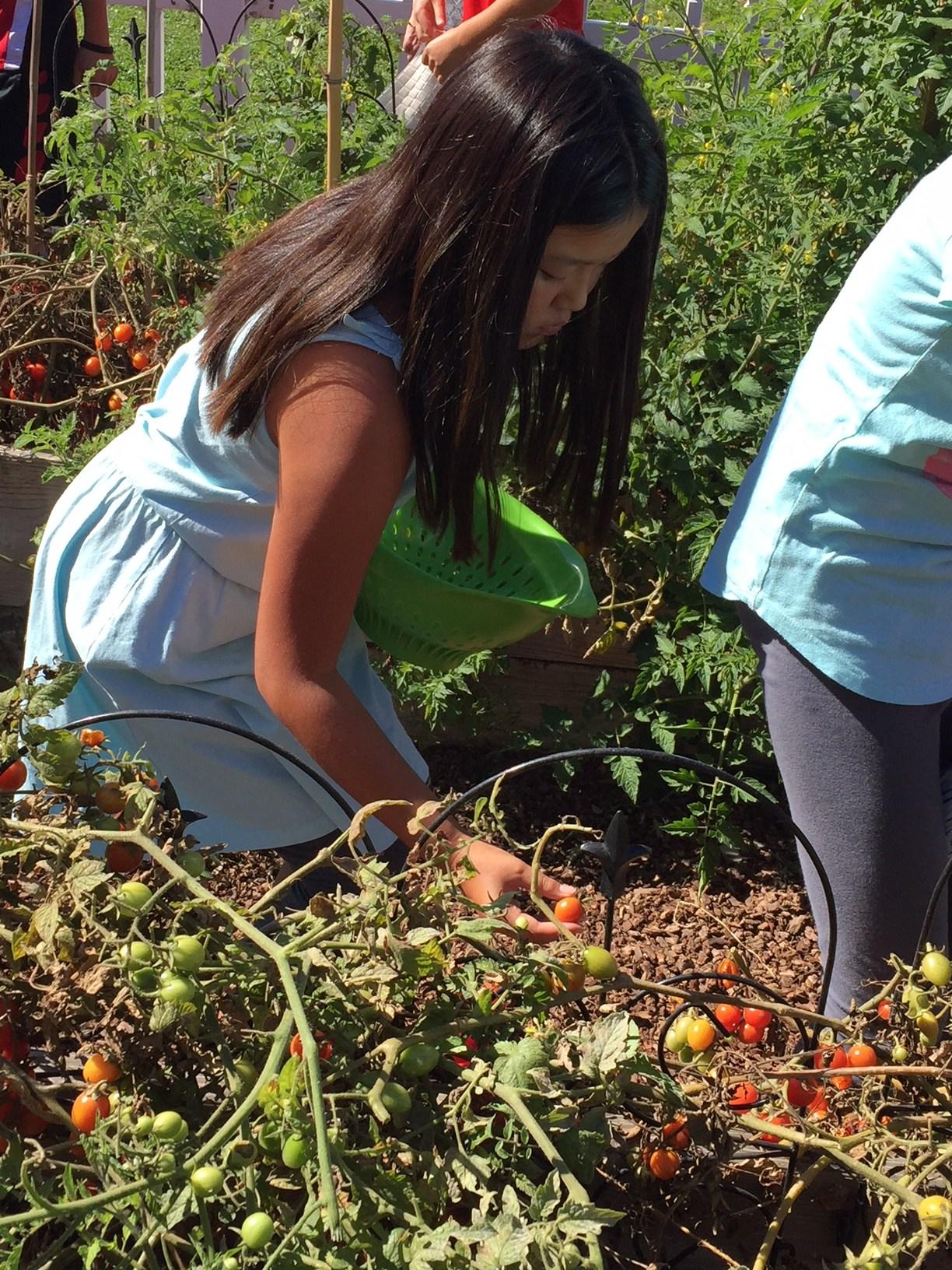 Girl student picking tomatos from garden.