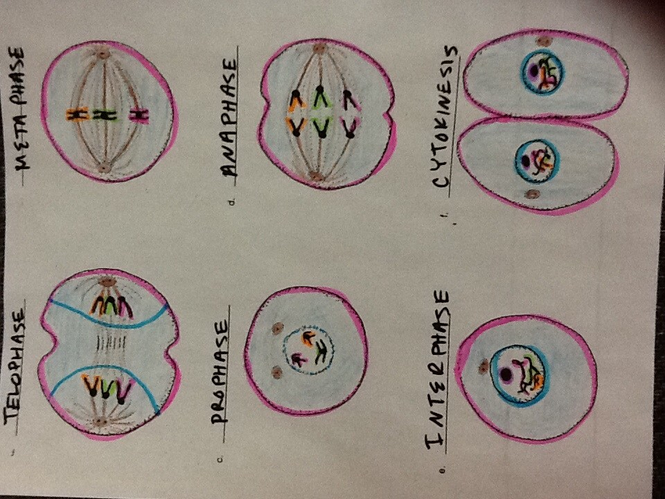 Alvarado Intermediate School – Mitosis Coloring Worksheet