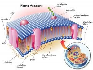 cell membrane.jpg