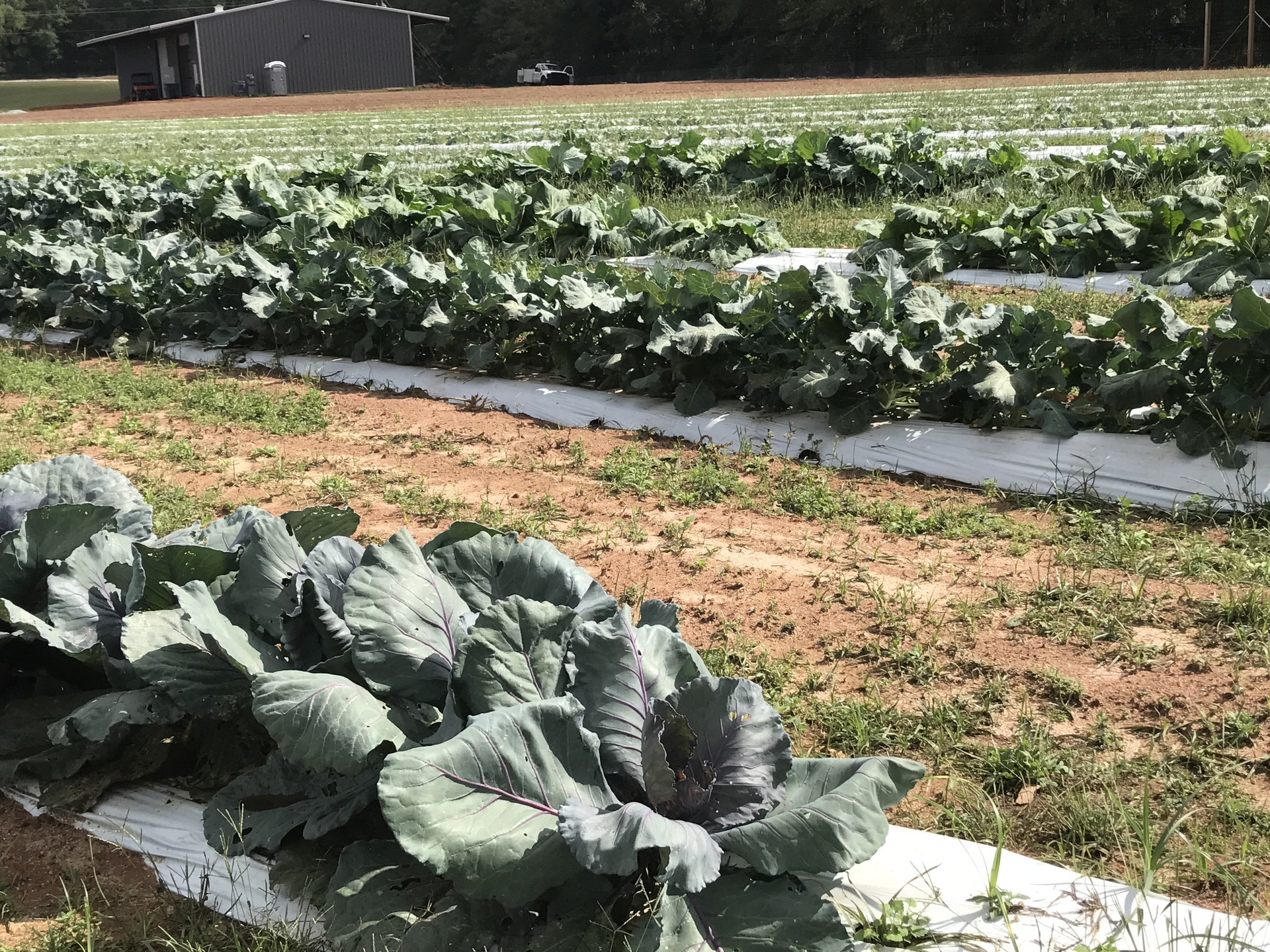 Picture of cabbage on the farm
