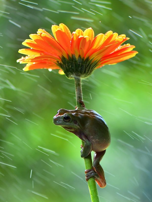 frog clings to flower stem in the rain