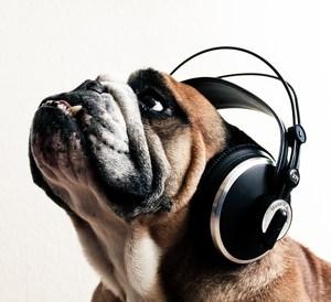 bulldog wearing headphones