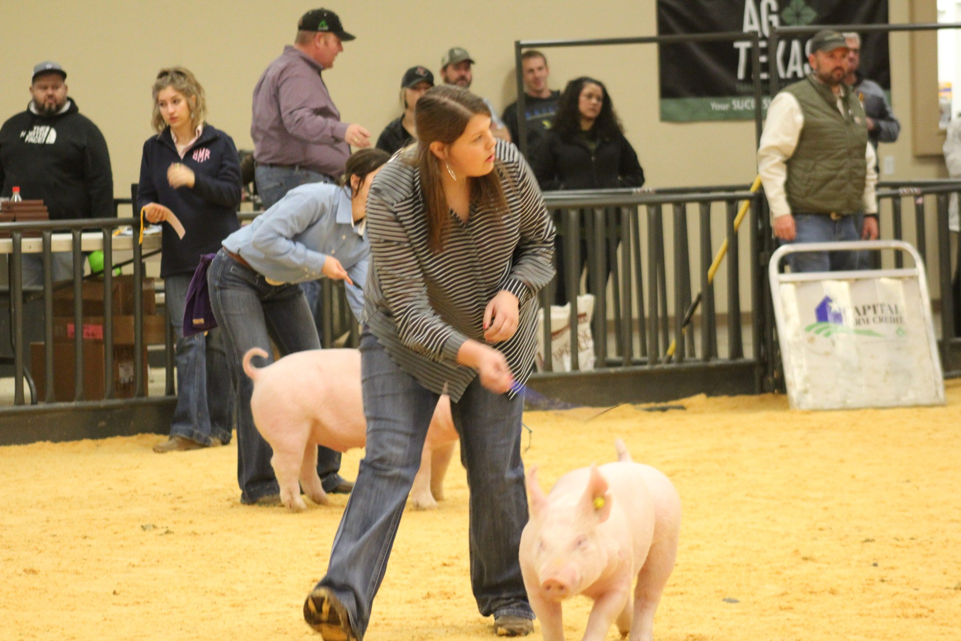 Pigs at County Stock show 2018