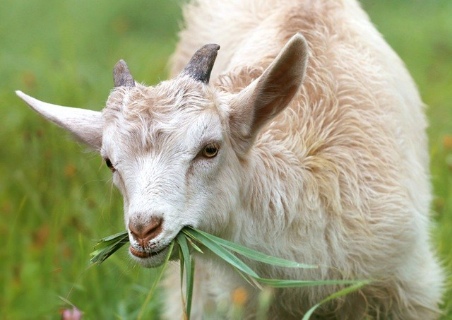 Kiss the Goat Fundraiser Thumbnail Image