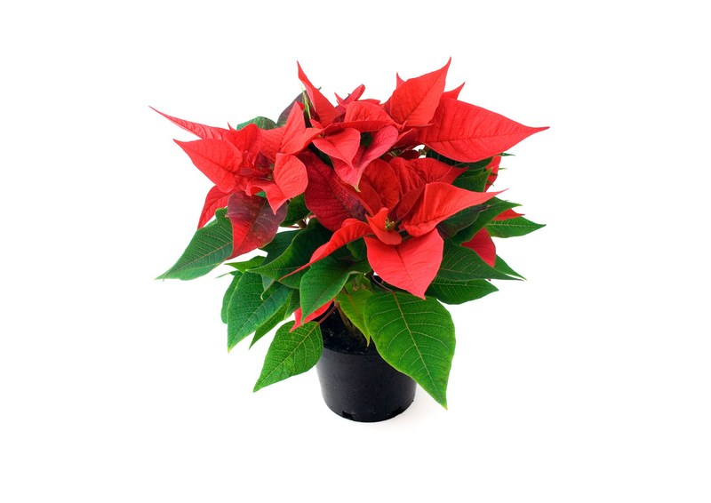 Order Your Holiday Poinsettia Now! Thumbnail Image