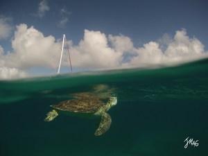 St. Martin Turtle by Jason Magid.jpg