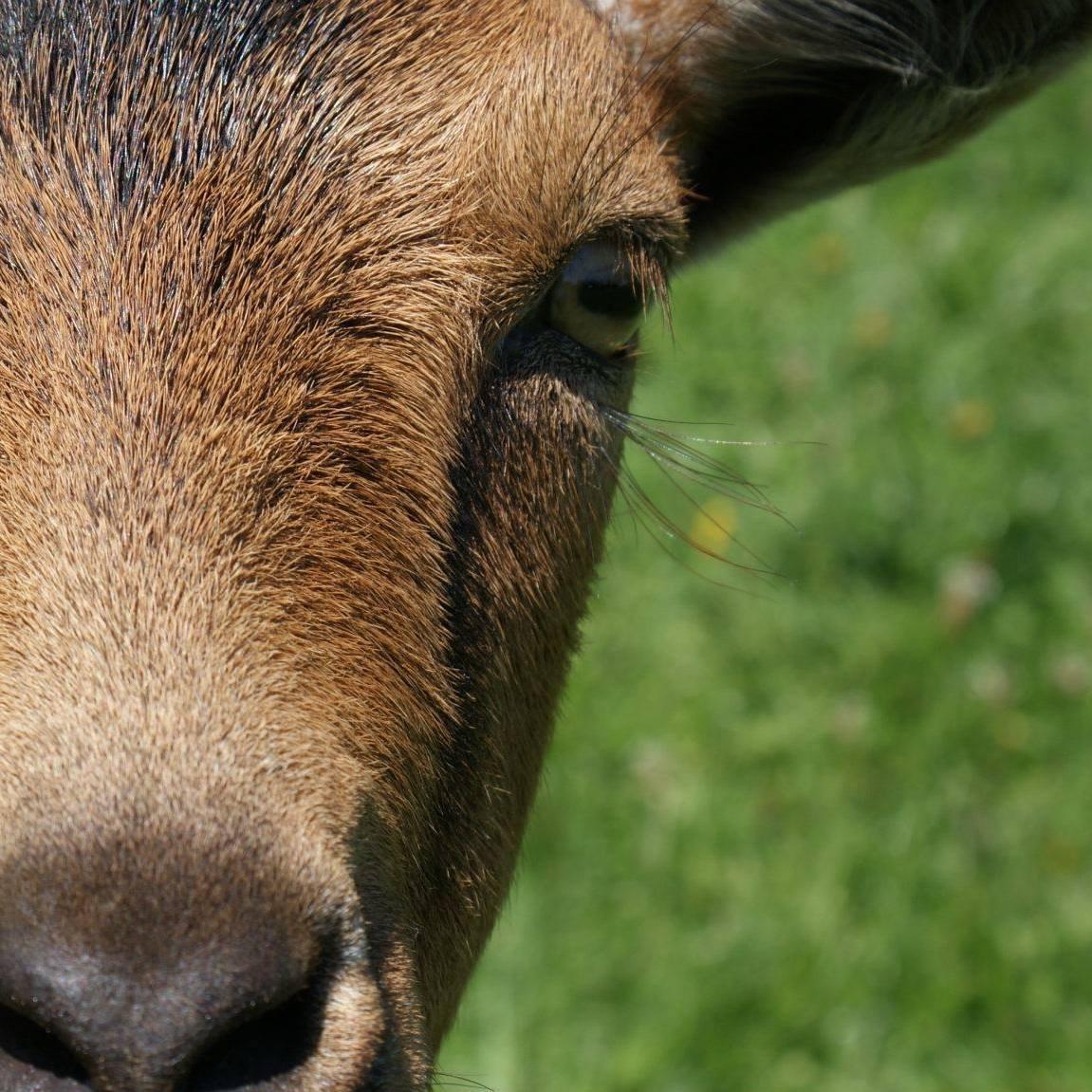 My pet goat, Blaze.