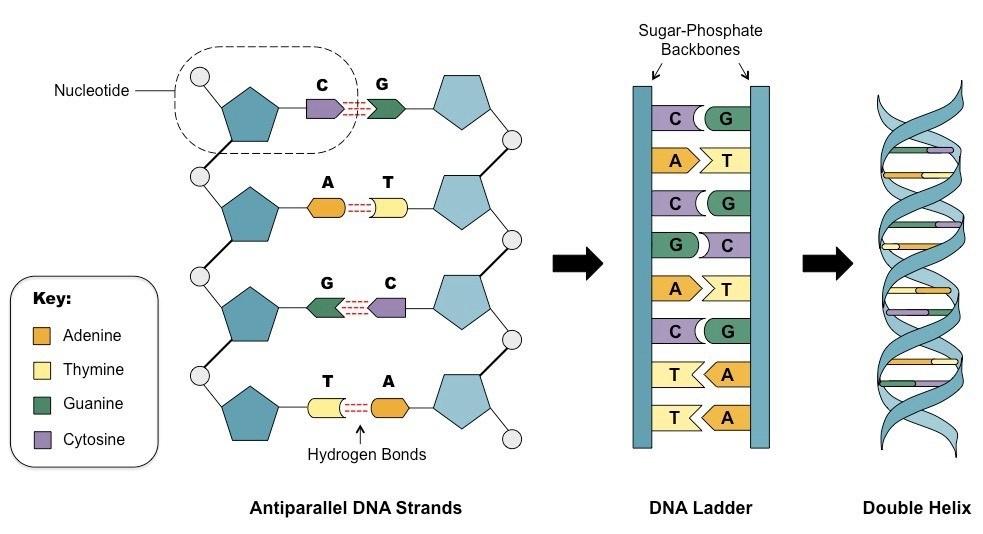 Basic ladder diagram dna circuit connection diagram basic ladder diagram dna images gallery ccuart Images