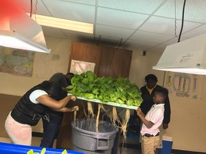 A group of students removing lettuce roots from plants in lab.