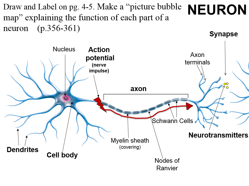 physioex 9 0 what part of the neuron was investigated in this activity Firstly, the electric activity of single hr neuron under electric autapse and chemical autapse is investigated it is found that quiescent neuron is activated due to appropriate time delay and feedback gain in the autapse, and the autapse plays an important role in waking up neuron.
