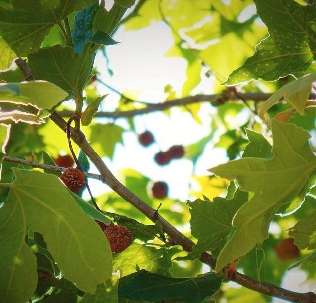 Berries in a tree