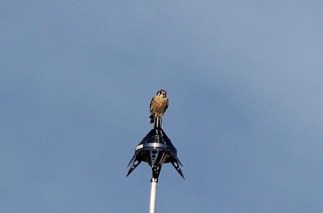 Bird on the flag pole
