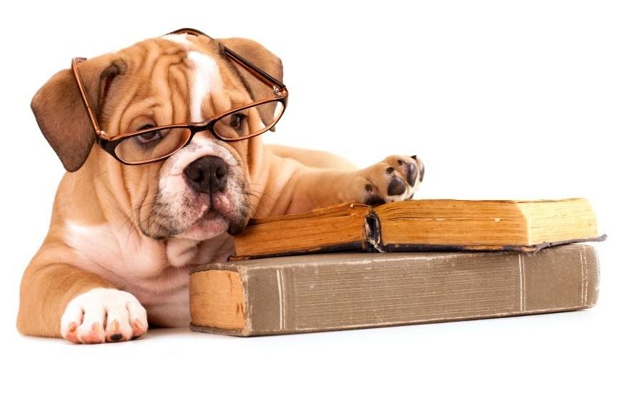 Bulldog with book