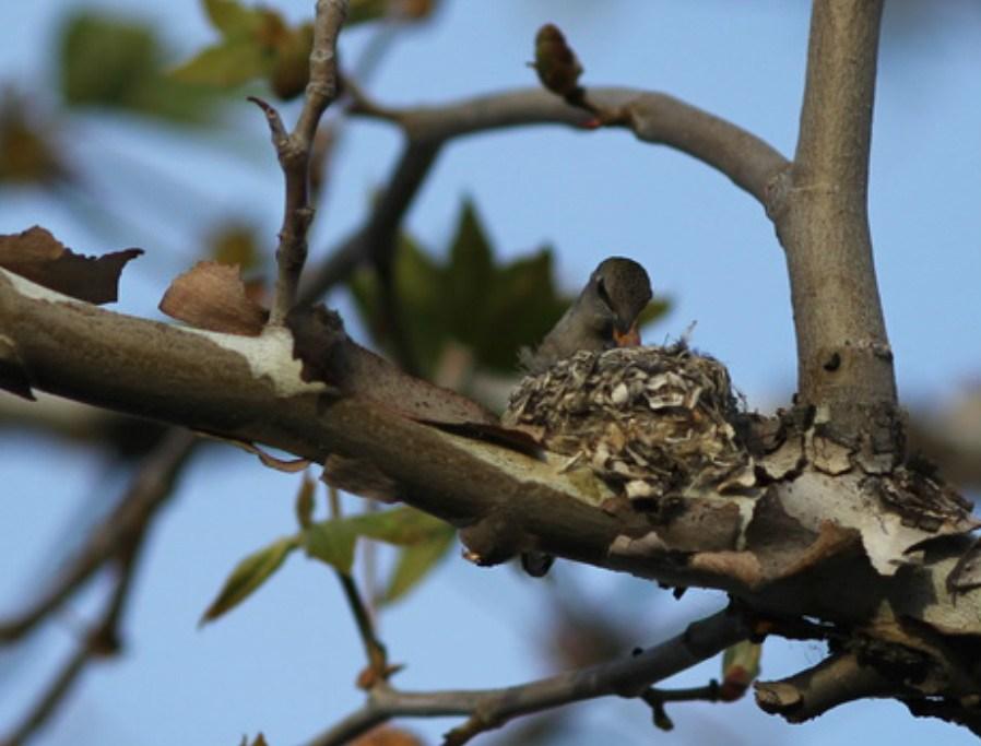 Mother hummingbird feeding babies