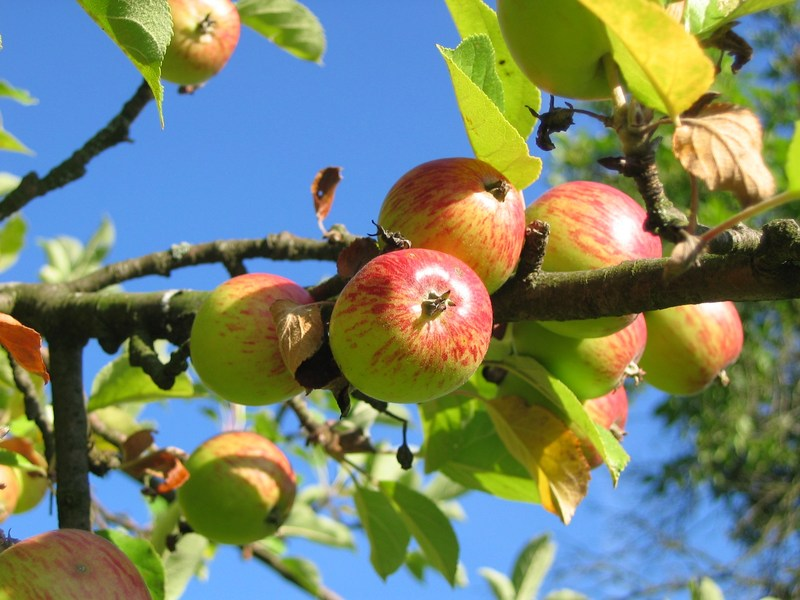 Photo of apples in a tree.