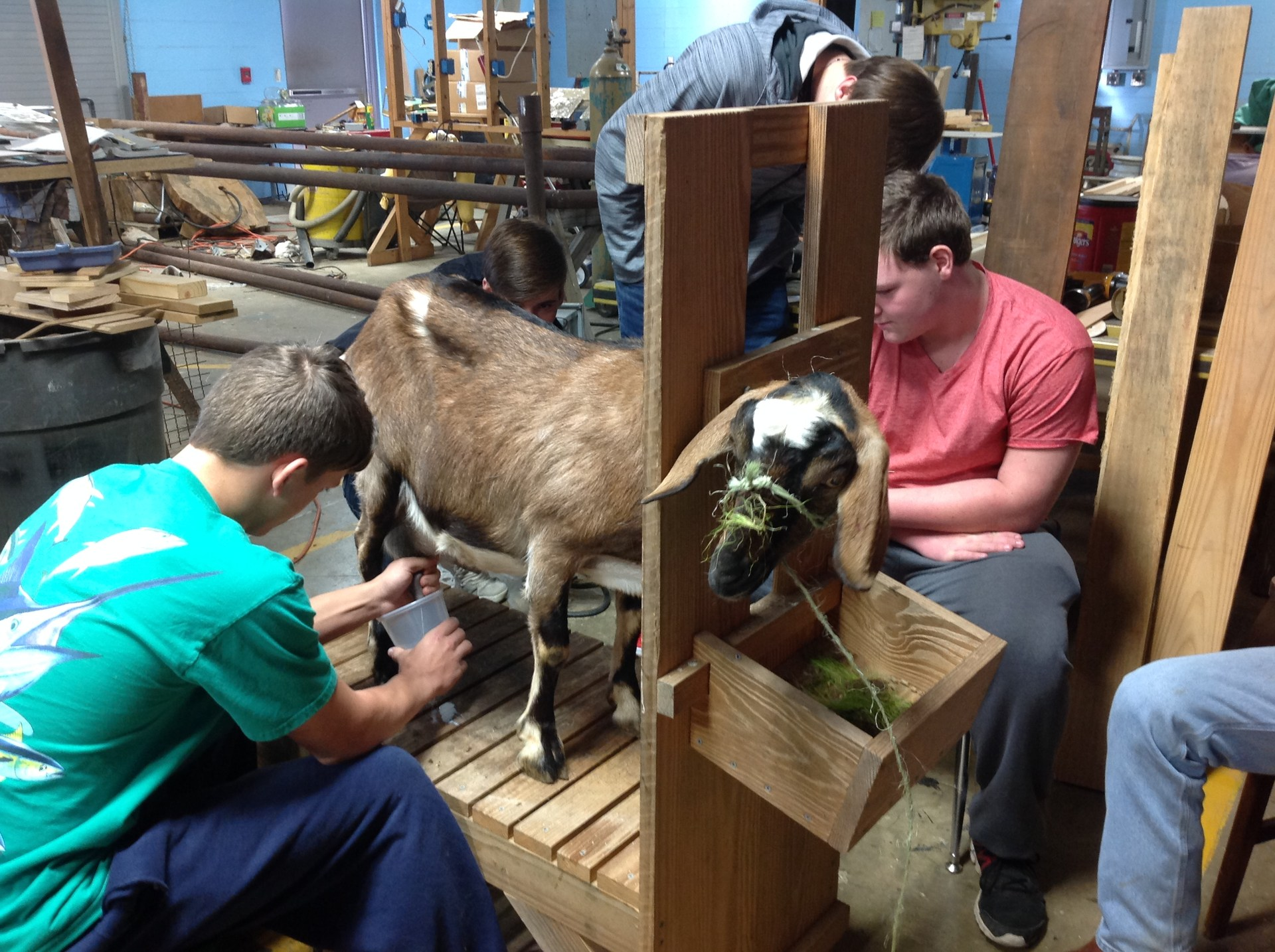 Ag student milking a goat.