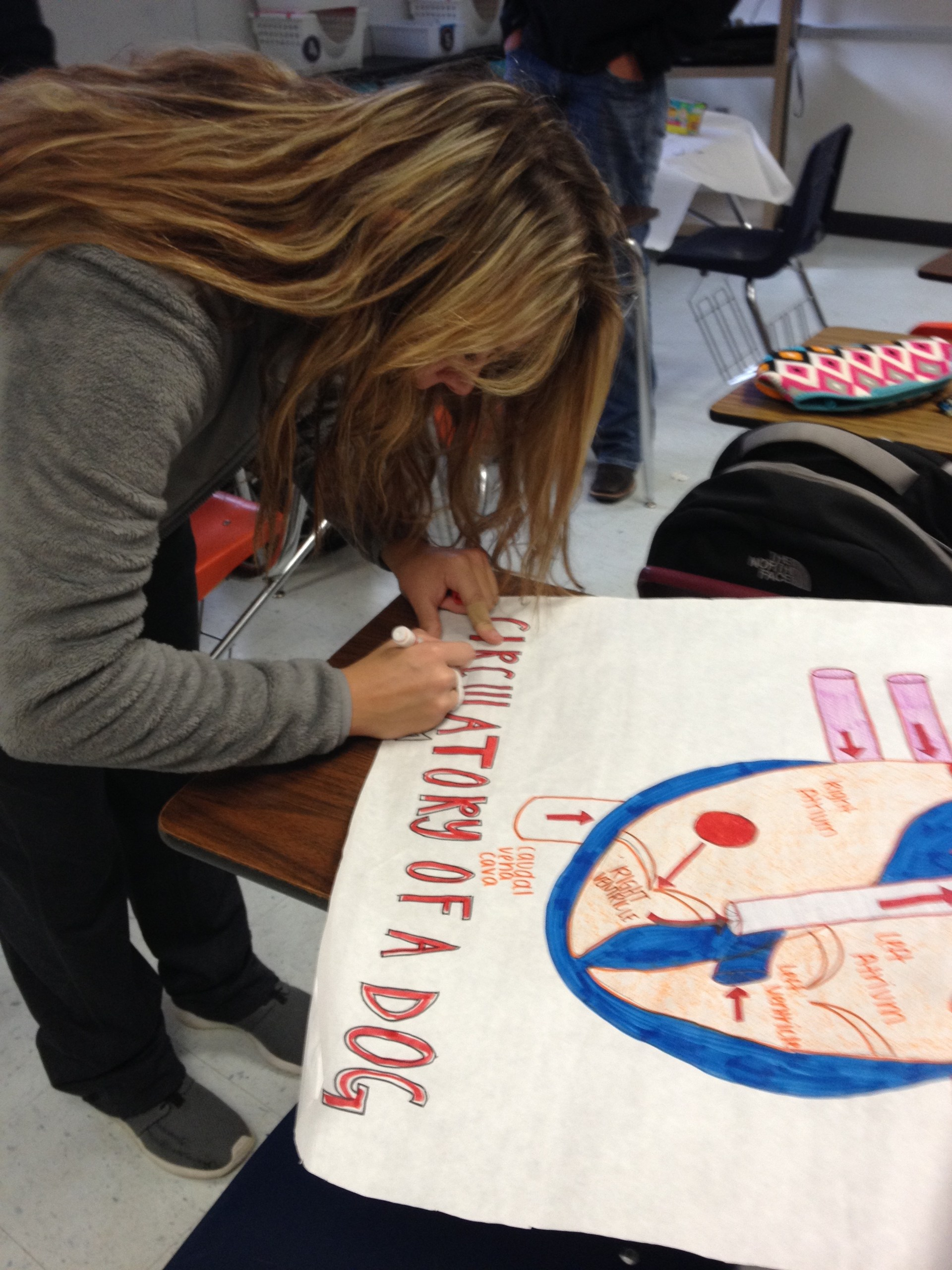 Students creating the circulatory system of a dog in class.