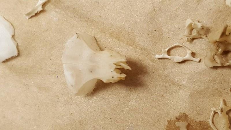 Skull (forehead and eye sockets)