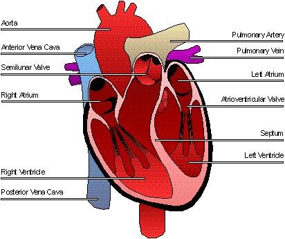 Cardiovascular System Mr Kriz Jr Tiegerman