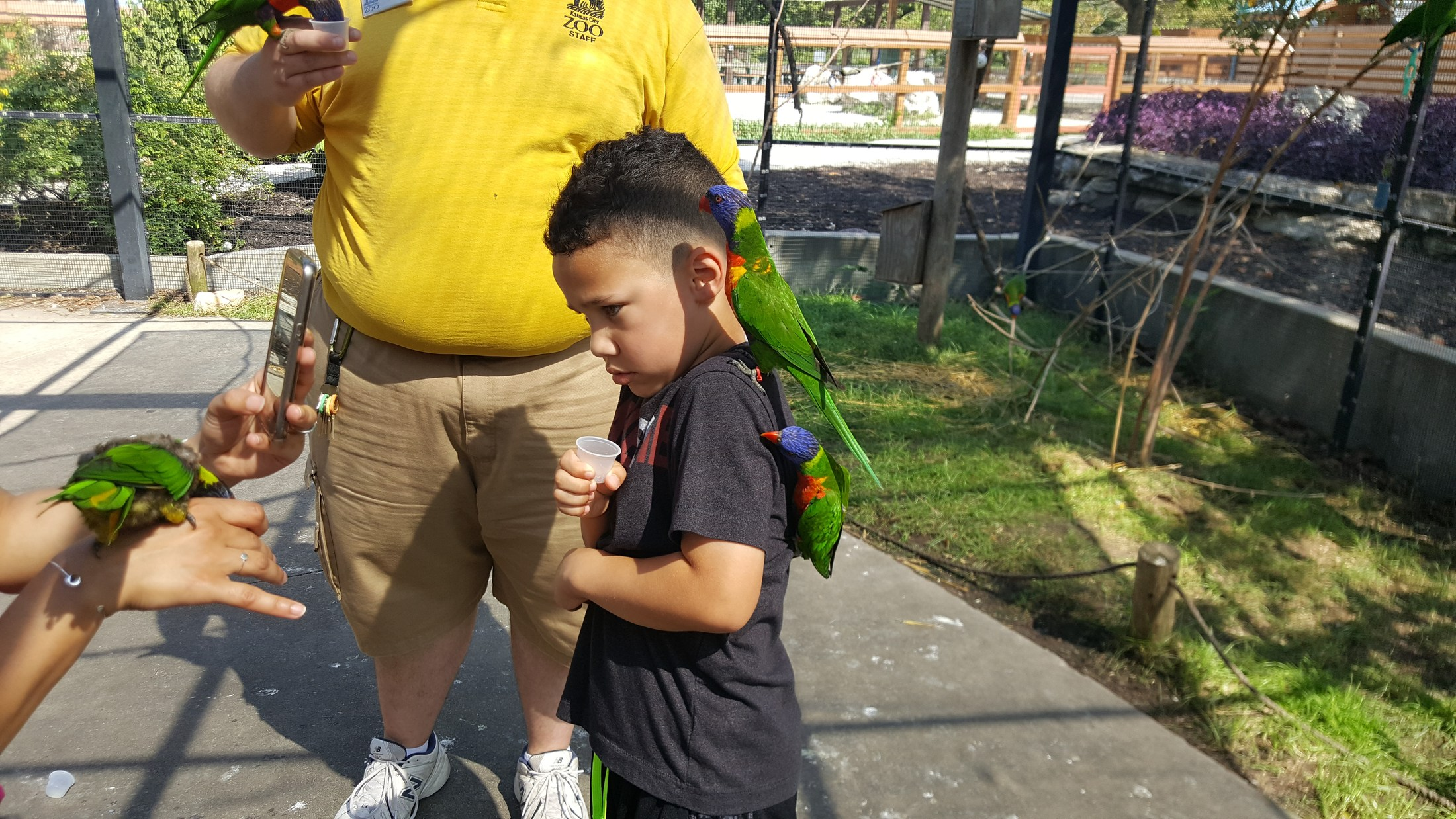 Two green parakeet on boy's shoulder
