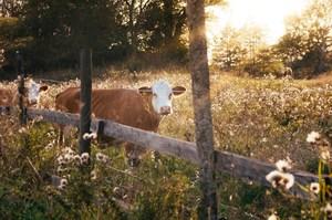 Cow in a field.