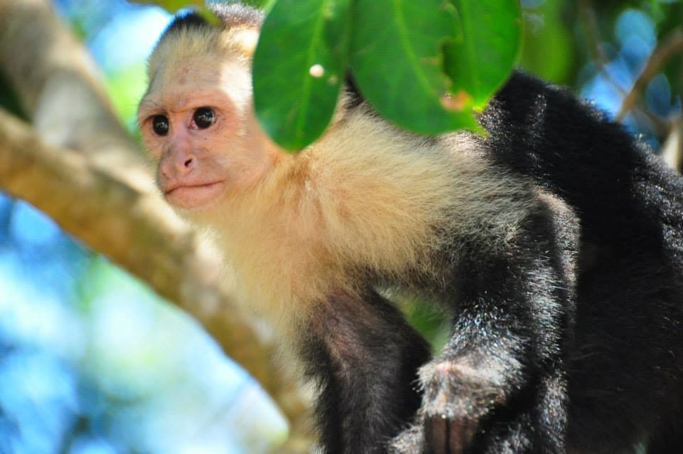 Costa Rican White Faced Capuchin Monkey