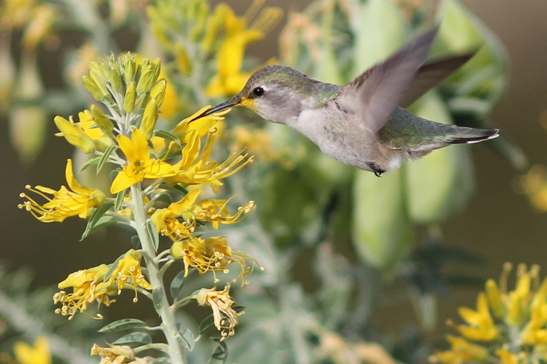 Hummingbird eating from flowers