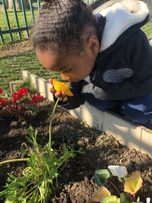 Kindergartener smelling flowers