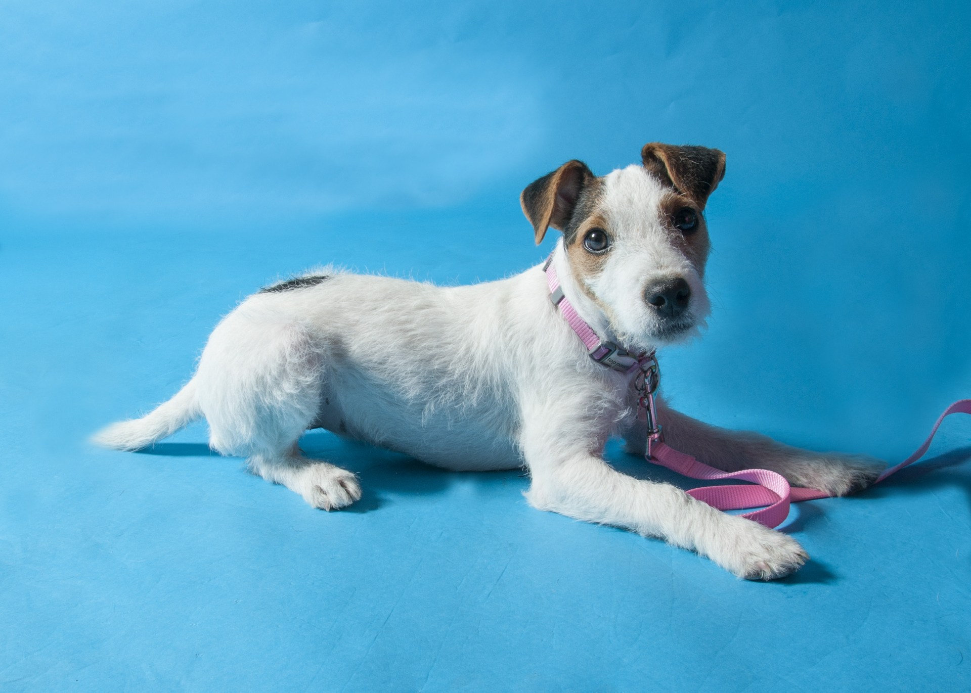 My Jack Russell Terrier, Dottie, at 8 mos. old.