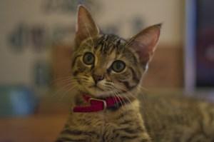 Alert kitten with red collar