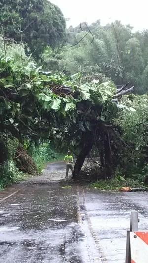 banyan tree down!.jpg