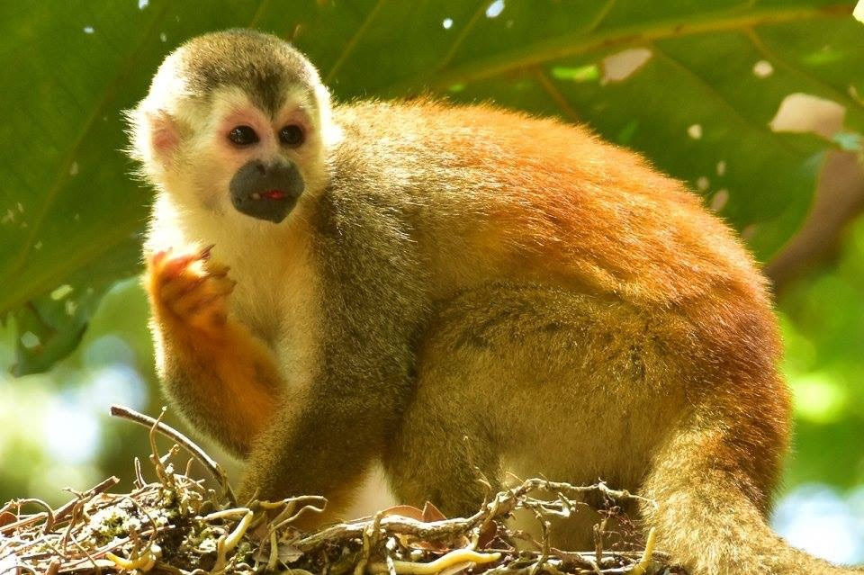 Costa Rican Squirrel Monkey