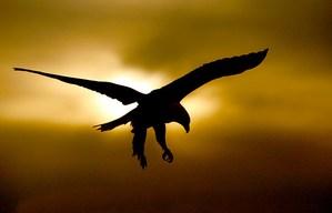 Bald-Eagle-gold-black-SILH-_J7X2112-Homer,-Alaska.jpg
