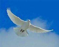 white-dove-desktop-wallpaper_305174131_std.jpg