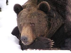 bear-99585.jpg
