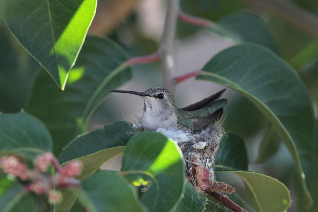 Mother hummingbird in her nest