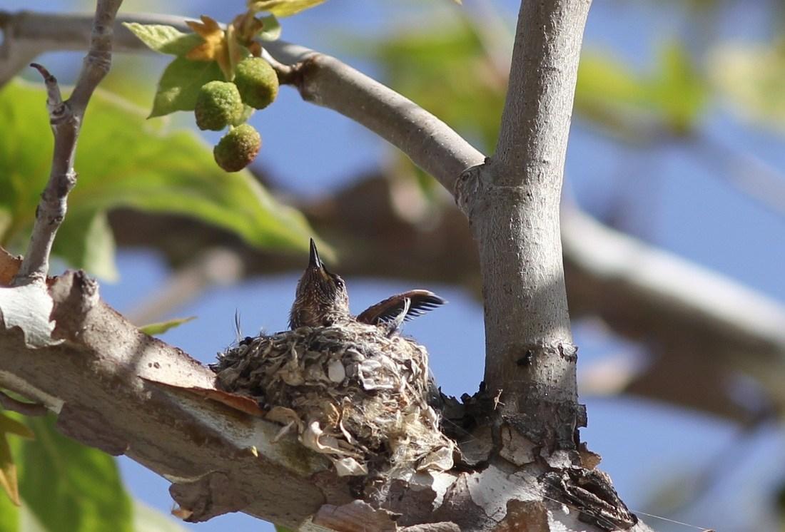 Hummingbirds in a nest