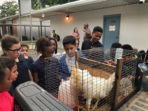 students viewing chickens