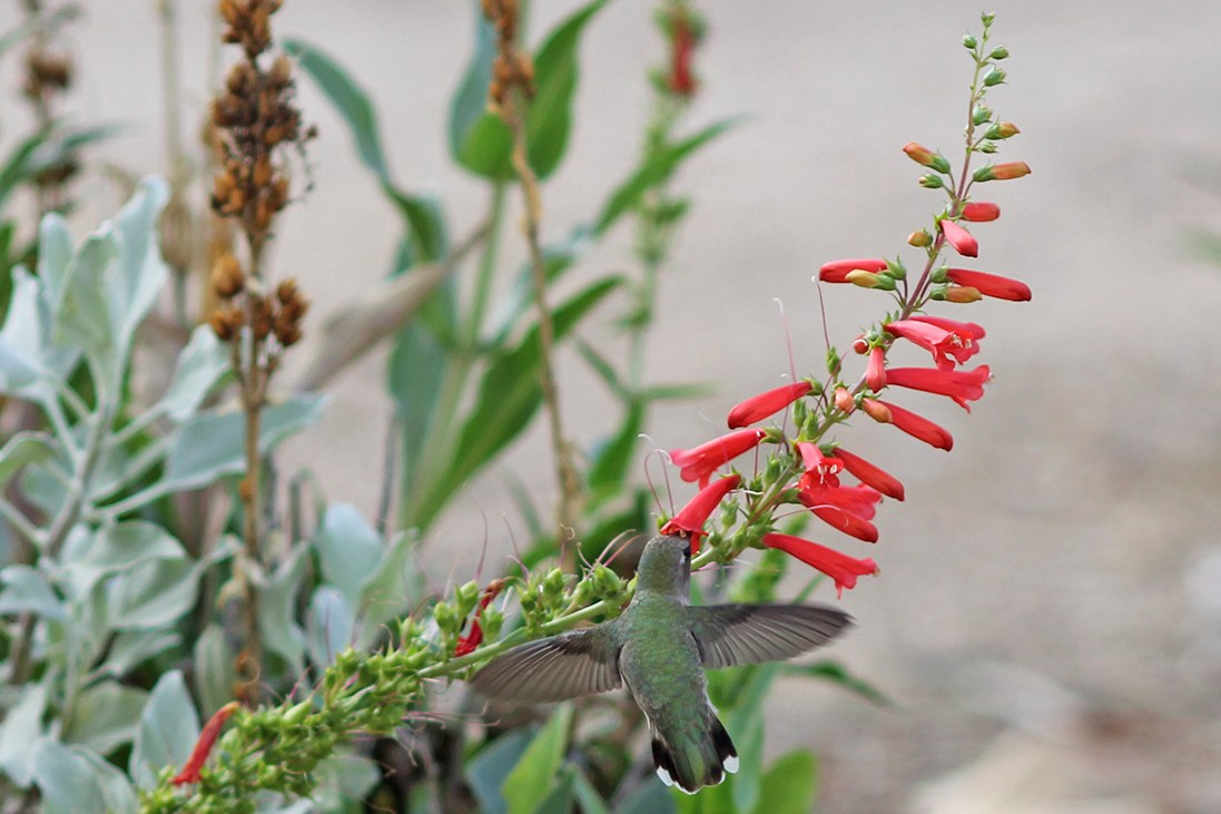 Hummingbird drinking from a flower