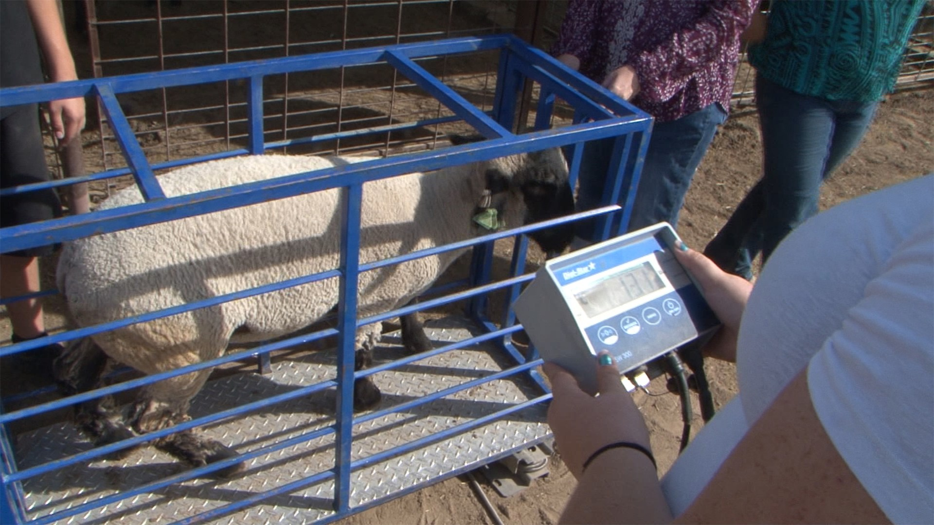 student weighing a sheep in agriculture class