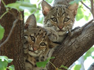 Two bobcat kittens in a tree