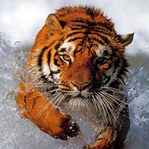 2b38950d4a696b54-Tiger-Swimming.jpg